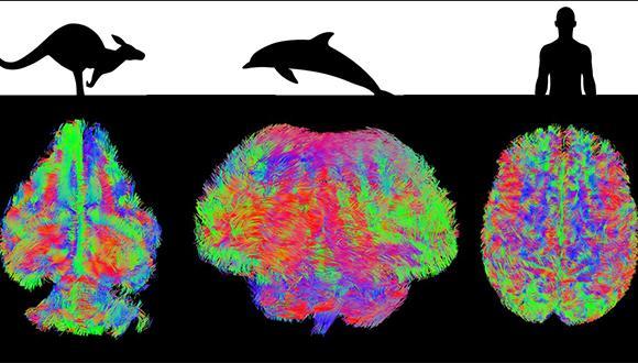 סקירת MRI של מוחות יונקים שונים