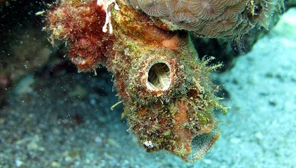 מחקר חדש גילה יצור ימי שיודע לפלוט את כל מערכת העיכול שלו בעת סכנה, ואז לבנותה מחדש