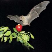 מחקר עטלפים
