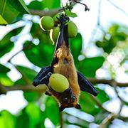 הדרך ללבה של העטלפה עוברת דרך הקיבה